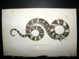 Shaw C1810 Antique Print. Viper Headed Snake
